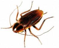 cockroach-3